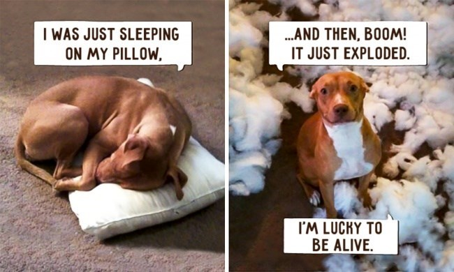 Dog - ..AND THEN, BOOM! I WAS JUST SLEEPING ON MY PILLOW IT JUST EXPLODED. I'M LUCKY TO BE ALIVE.