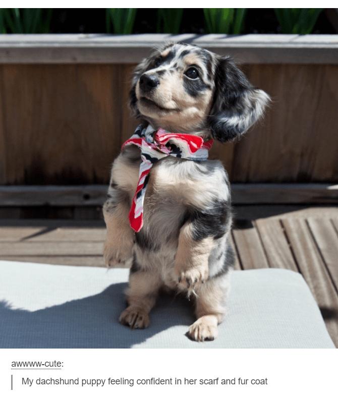 Dog - awwww-cute: My dachshund puppy feeling confident in her scarf and fur coat