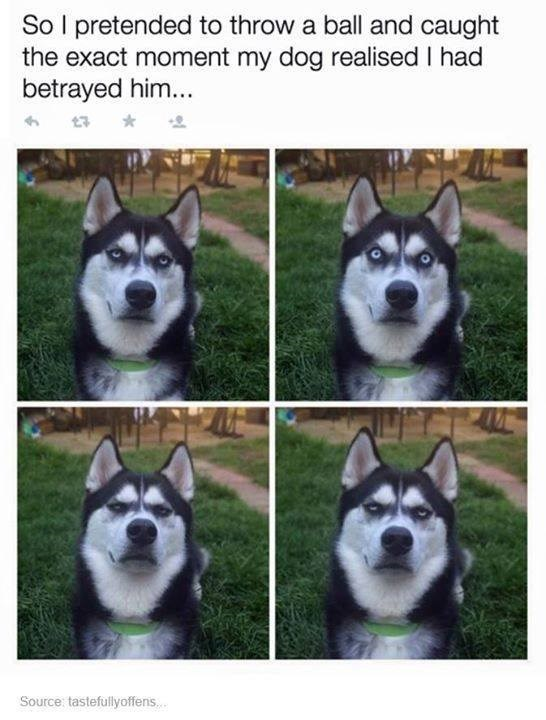 Dog - So l pretended to throw a ball and caught the exact moment my dog realised I had betrayed him... Source: tastefullyoffens...