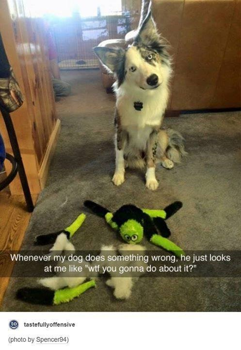"""Mammal - Whenever my dog does something wrong, he just looks at me like """"wtf you gonna do about it?"""" to tastefullyoffensive (photo by Spencer94)"""