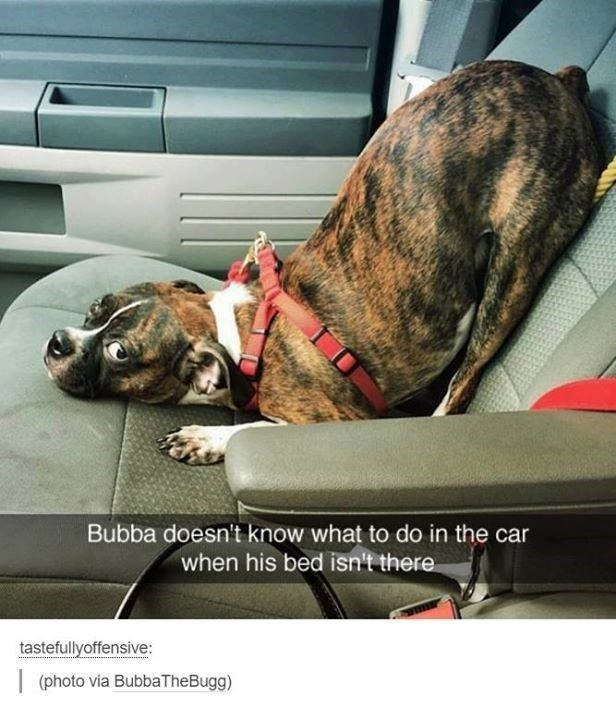 Dog - Bubba doesn't know what to do in the car when his bed isn't there tastefullyoffensive: (photo via BubbaTheBugg)