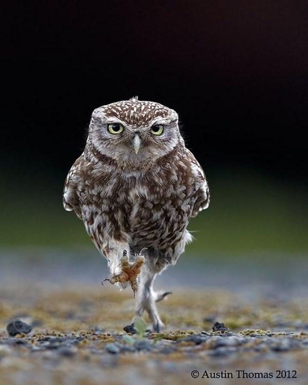 Owl - O Austin Thomas 2012