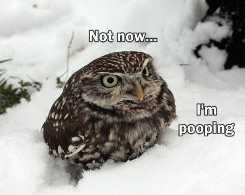 Owl - Not now... pooping