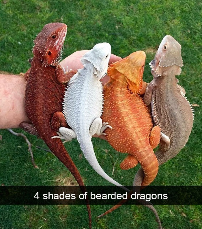 snapchat - Reptile - 4 shades of bearded dragons