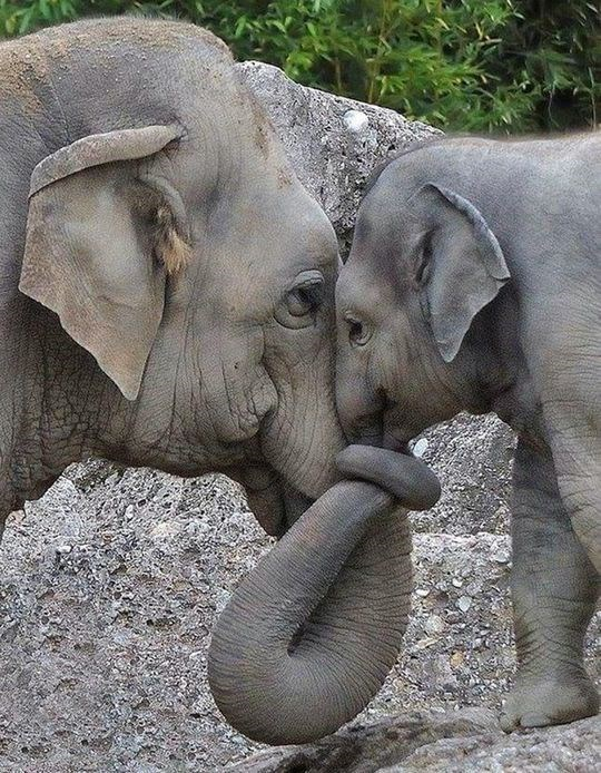 world elephant day pictures | adorable photo of an adult elephant and a baby elephant holding each other close with their trunks entwined together
