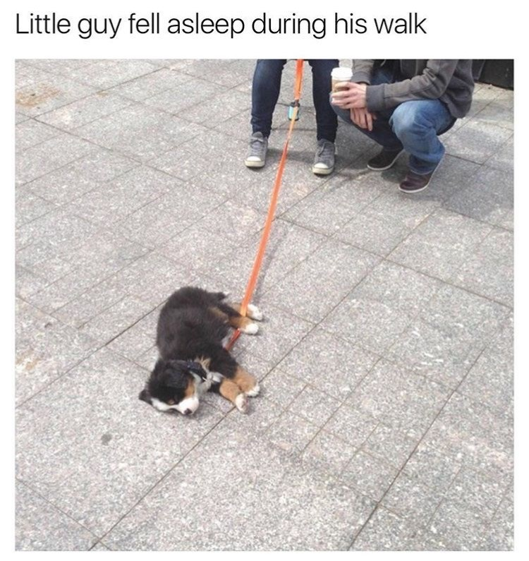 Dog - Little guy fell asleep during his walk