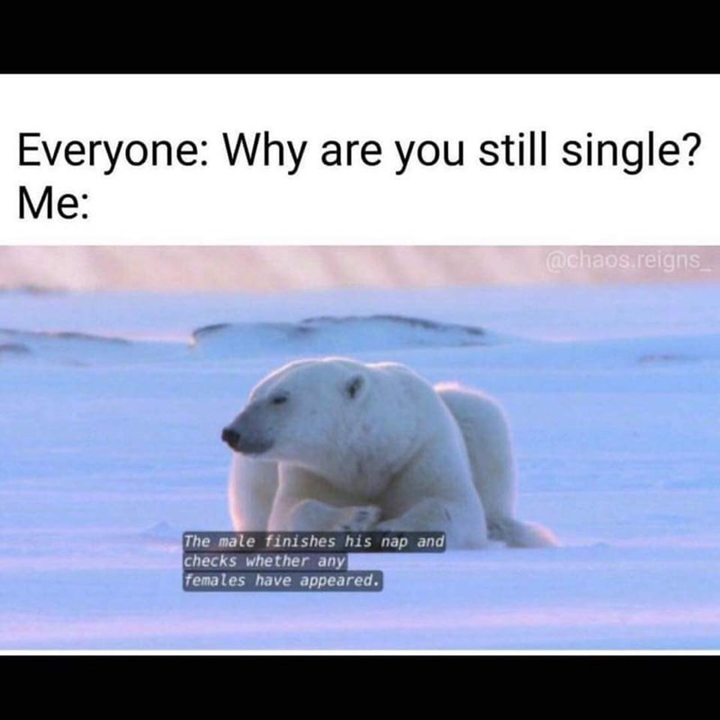 Polar bear - Everyone: Why are you still single? Me: @chaos.reigns The male finishes his nap and checks whether any females have appeared.