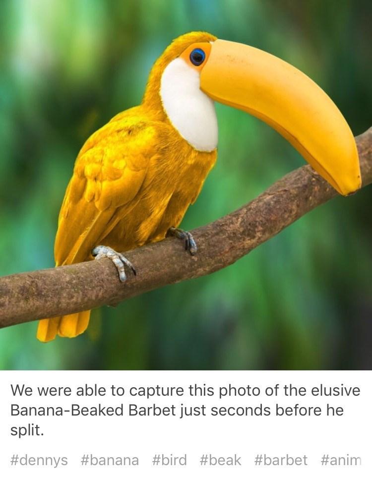 Bird - We were able to capture this photo of the elusive Banana-Beaked Barbet just seconds before he split. #dennys #banana #bird #beak #barbet #anim