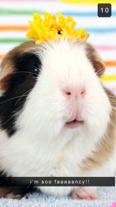 Guinea pig - 10 i'm soo faaa a ancy!!
