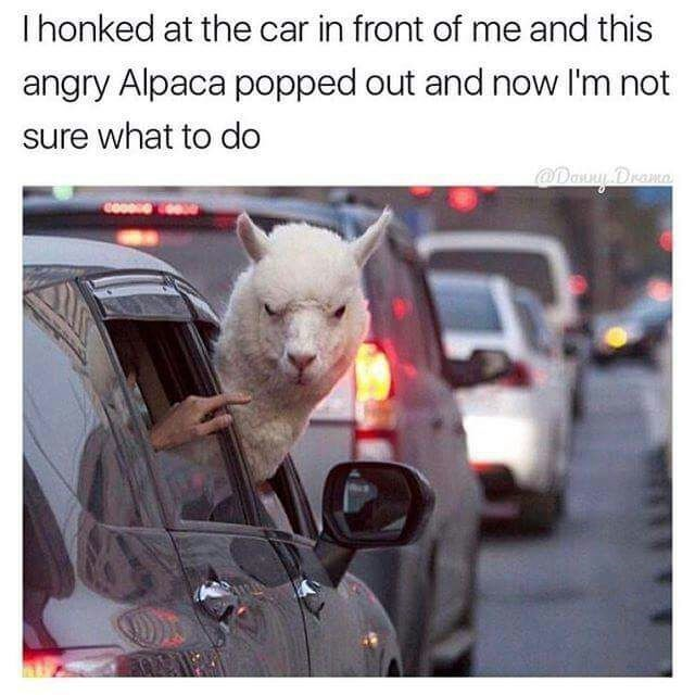 Photo caption - I honked at the car in front of me and this angry Alpaca popped out and now I'm not sure what to do @Dawy Drama