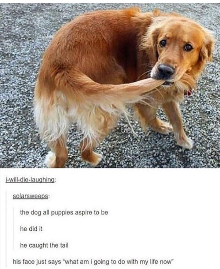 """Dog - will die-laughing: solarsweeps the dog all puppies aspire to be he did it he caught the tail his face just says """"what am i going to do with my life now"""