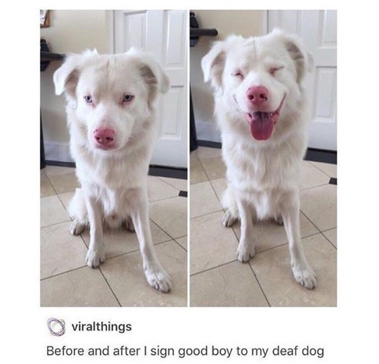 Dog - viralthings Before and after I sign good boy to my deaf dog