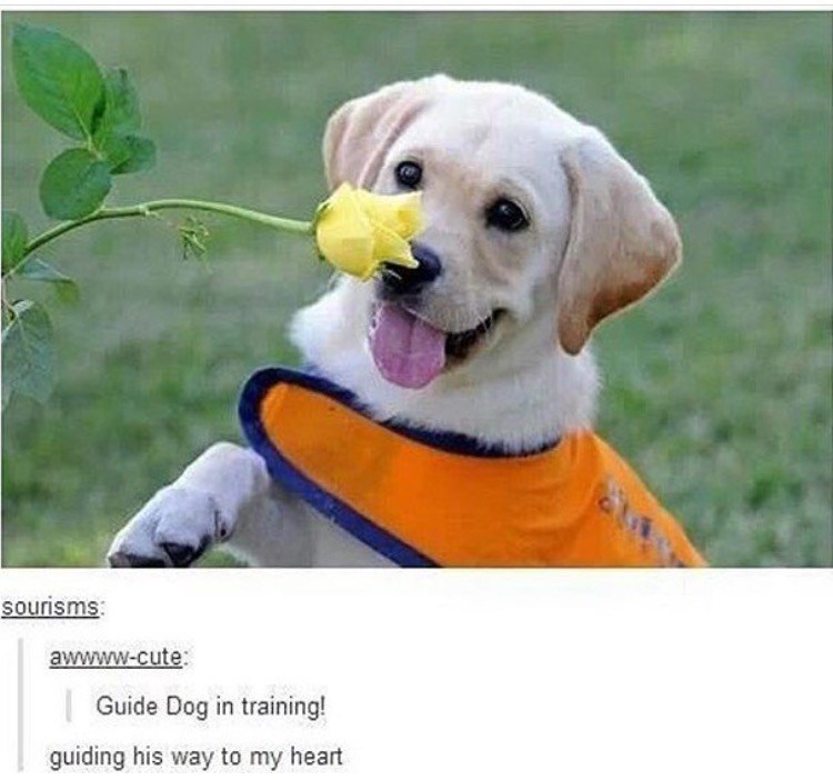 Dog - sourisms awwww-cute Guide Dog in training! guiding his way to my heart
