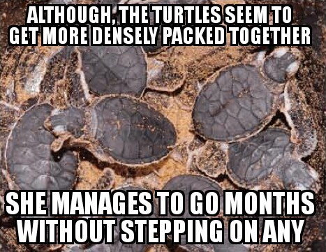 bad joke - Tortoise - ALTHOUGHTHETURTLESSEEM TO GET MORE DENSELY PACKED TOGETHER SHE MANAGES TO GO MONTHS WITHOUT STEPPING ONANY
