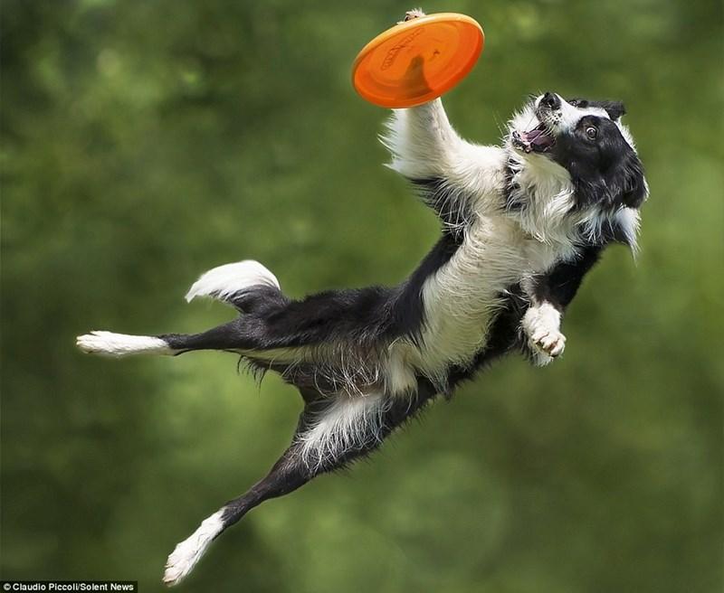 Disc dog - Claudio Piccoli/Solent News