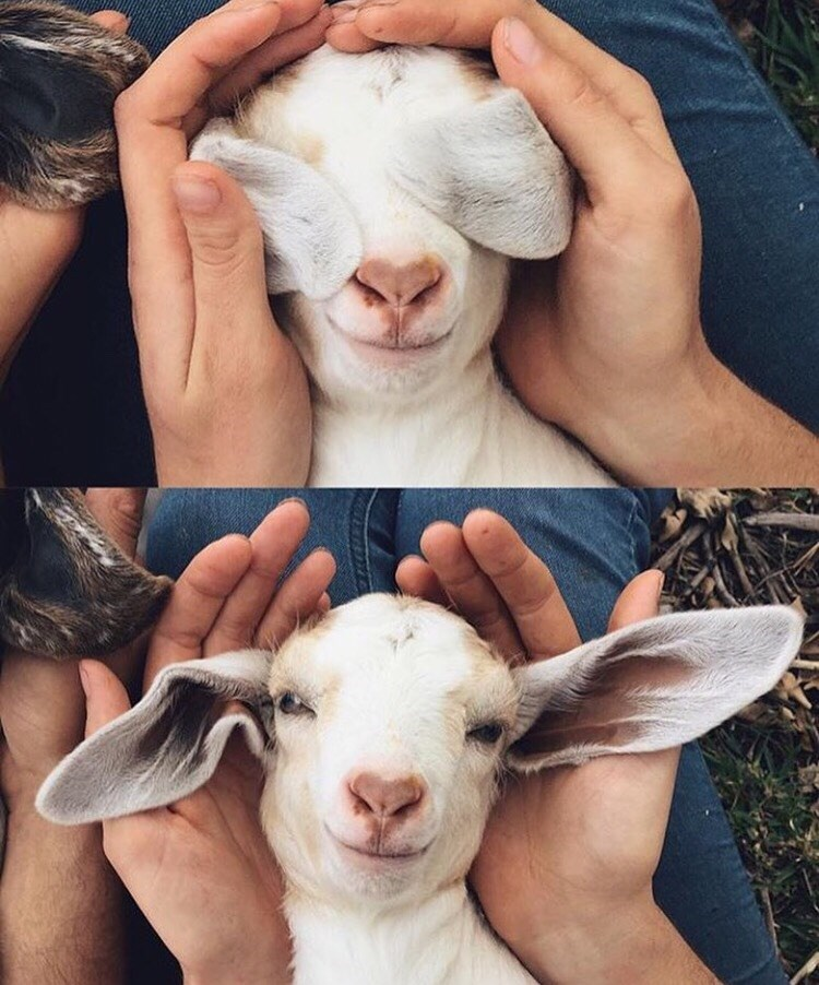 cute ears goats peekaboo