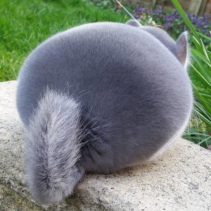 chinchillas - Domestic rabbit