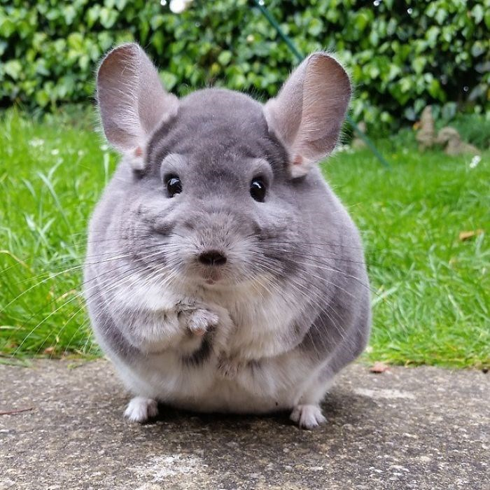 chinchillas - Mammal