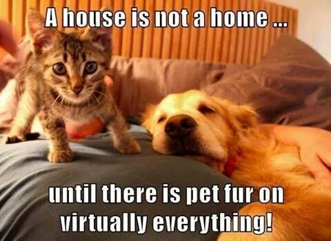 pet fur makes it home meme with cute kitten and relaxed dog