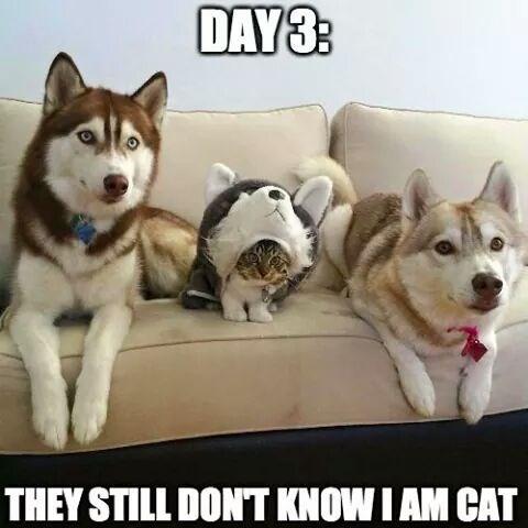 cat in disguise meme