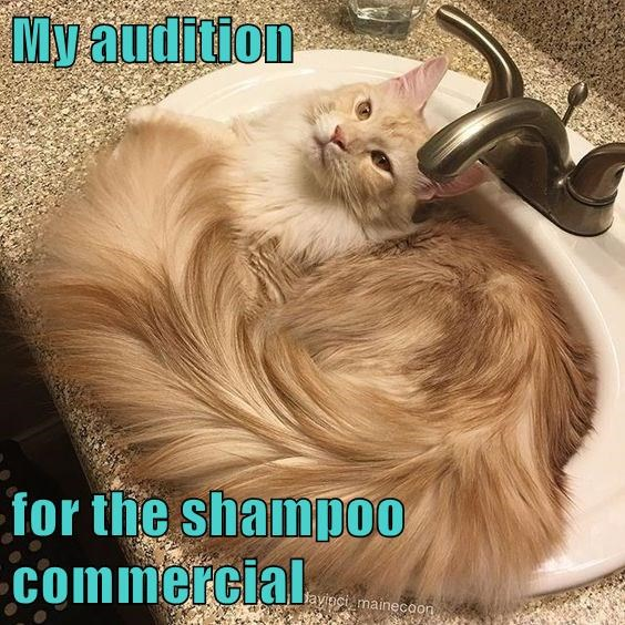 Funny picture turned into a cat meme of kitty in the sink with a very nice shine and fluff going on with his coat, captioned to joke that he is auditioning for a cat shampoo commercial.