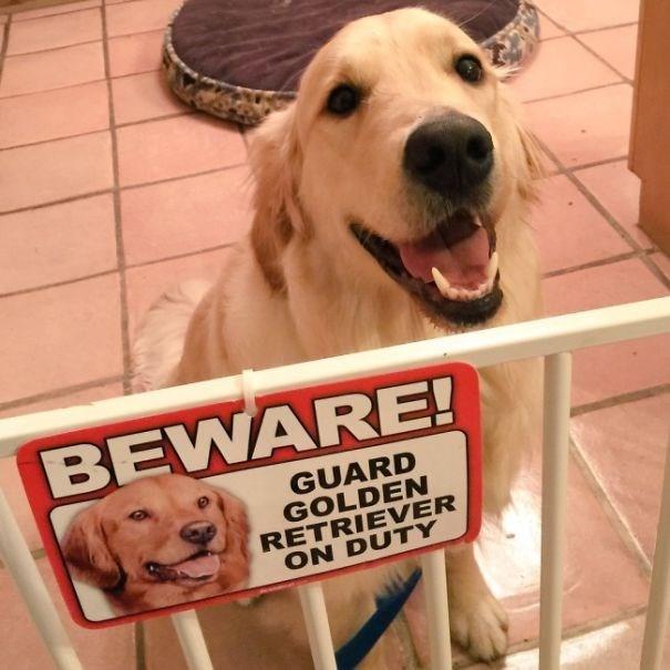 Dog - BEWARE! GUARD GOLDEN RETRIEVER ON DUTY