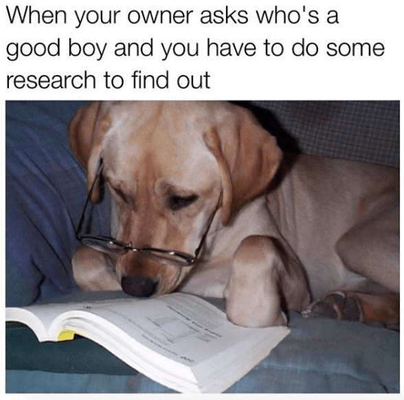 meme - Dog - When your owner asks who's a good boy and you have to do some research to find out