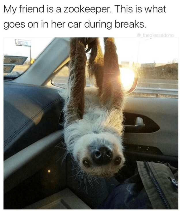 awesome meme about working in the zoo with pic of sloth hanging upside down inside car