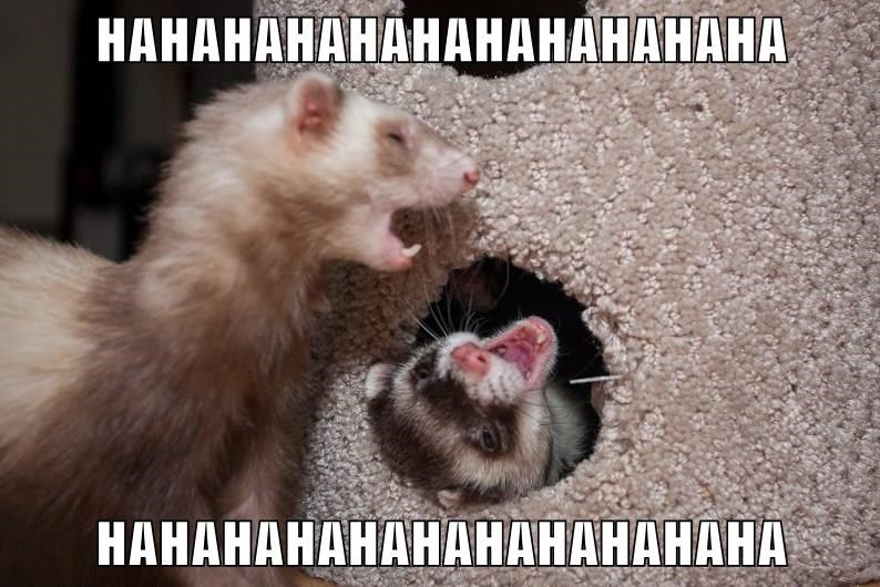 ferret laughing animal memes animals - 9015130368