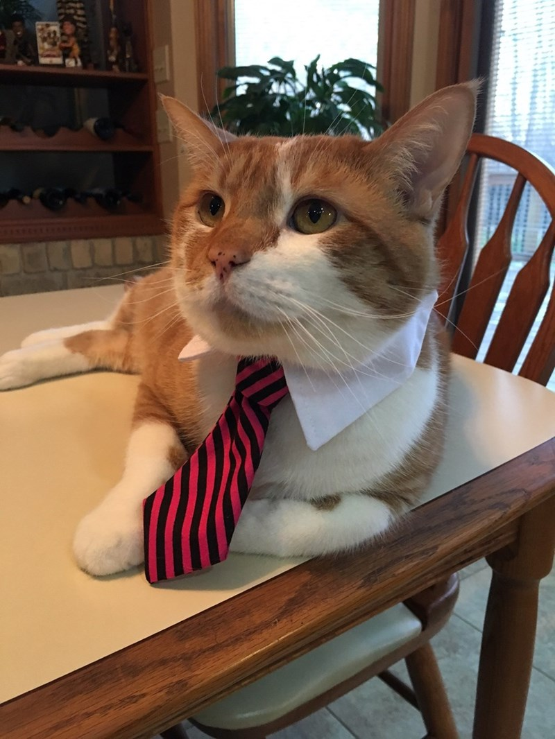 tie Business Cat Cats