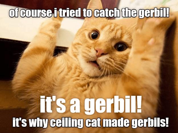 tried cat catch gerbil ceiling cat caption made - 9016056064