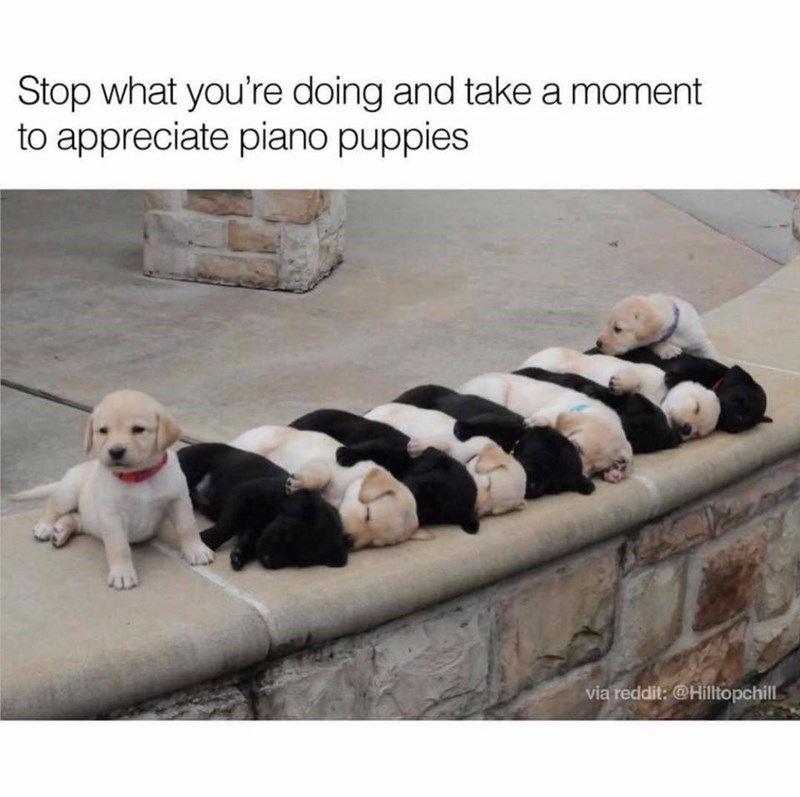 Dog - Stop what you're doing and take a moment to appreciate piano puppies via reddit:@Hilltopchill