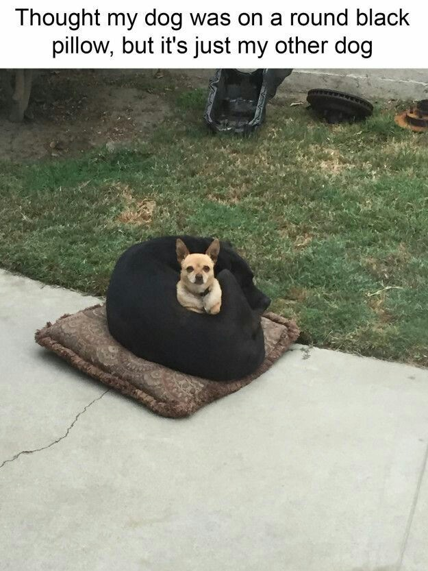 animal meme of dog that looks like pillow