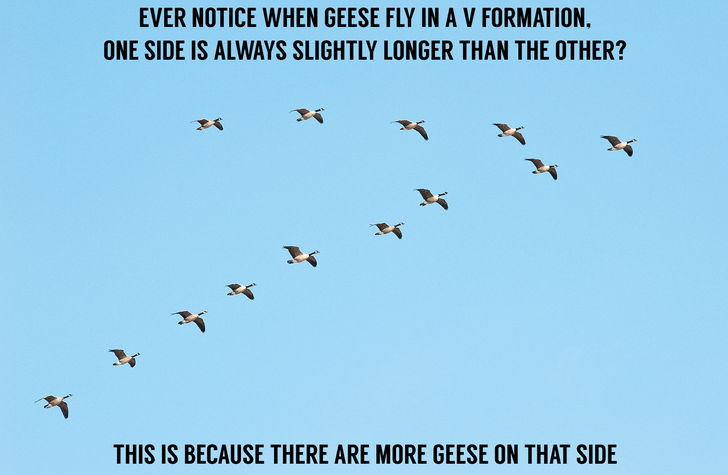 Bird migration - EVER NOTICE WHEN GEESE FLY IN AV FORMATION. ONE SIDE IS ALWAYS SLIGHTLY LONGER THAN THE OTHER? THIS IS BECAUSE THERE ARE MORE GEESE ON THAT SIDE