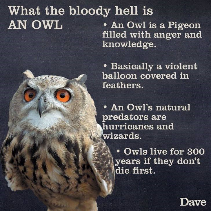 Owl - What the bloody hell is AN OWL . An Owl is a Pigeon filled with anger and knowledge. . Basically a violent balloon covered in feathers. .An Owl's natural predators are hurricanes and wizards. . Owls live for 300 years if they don't die first. Dave