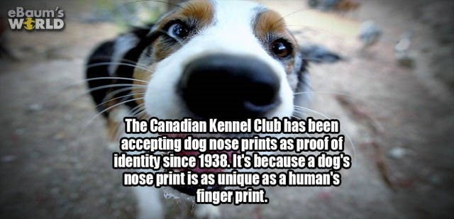 Dog - eBaum's WERLD The Canadian Kennel Clubhas been accepting dog nose prints as proofof identity Since 1938 It's becauseadog's nose print is as unique as a human's finger print.