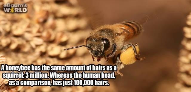 Honeybee - eBaum's WERLD Ahoneybeehas the same amount of hairs as a squirrel:3 million Whereas the human head asacomparison has just 100,000 hairs.
