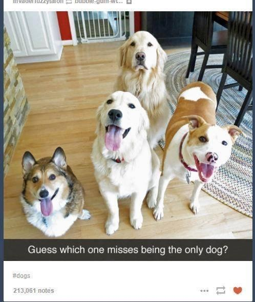 Dog - Ivade Guess which one misses being the only dog? #dogs 213,061 notes