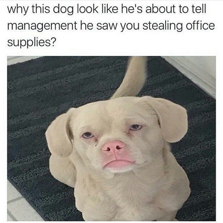 Dog - why this dog look like he's about to tell management he saw you stealing office supplies?