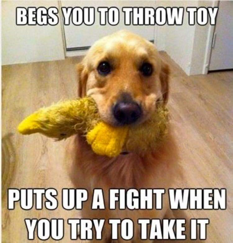 Dog - BEGS YOU TO THROW TOY PUTS UP A FIGHT WHEN YOU TRY TO TAKE IT