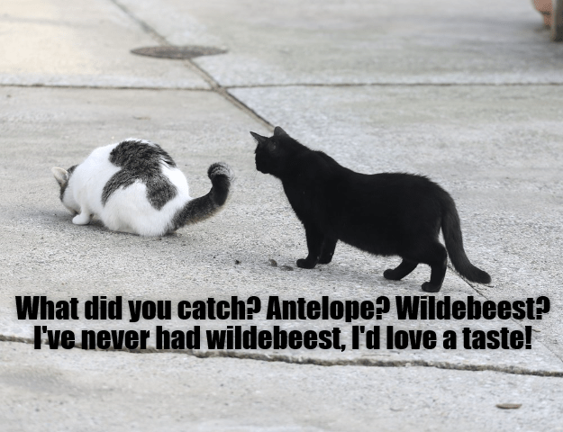 taste cat antelope wildebeest caption - 9017756416