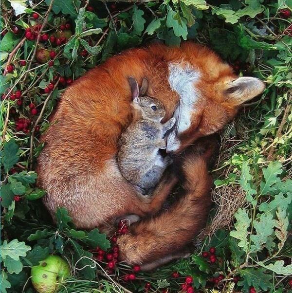 animals cuddling - Red panda