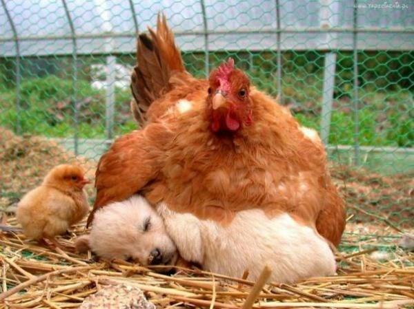animals cuddling - Chicken