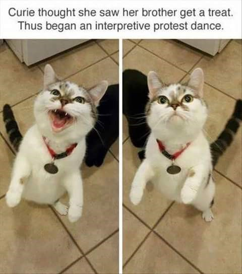 Cat - Curie thought she saw her brother get a treat. Thus began an interpretive protest dance.