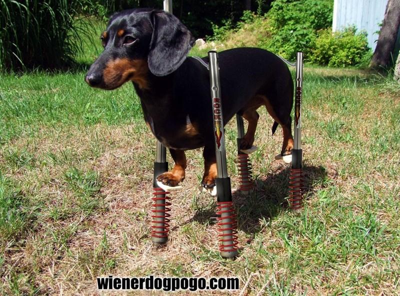 Dog - wienerdogpogo.com