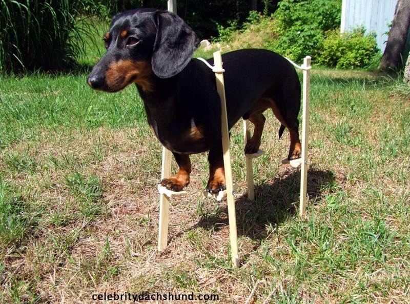Dog - celebritydachshund.com