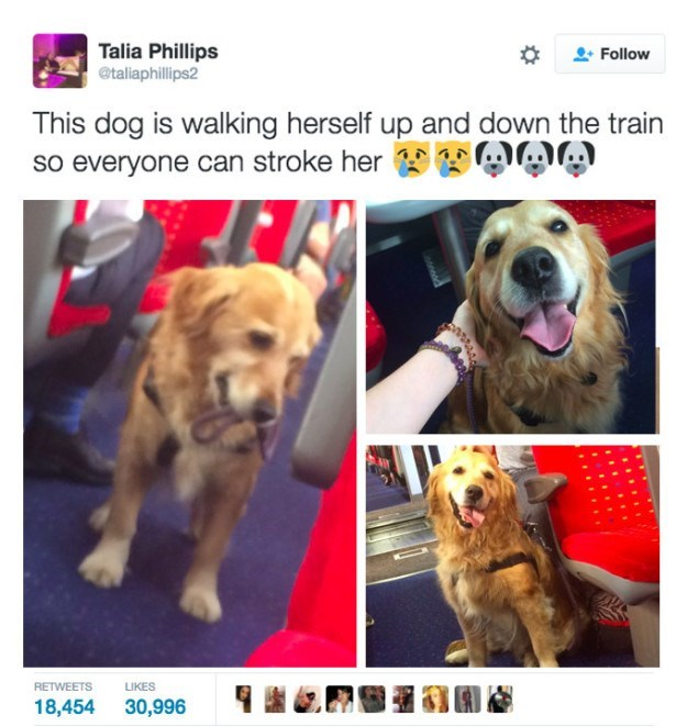 Dog breed - Talia Phillips @taliaphillips2 Follow This dog is walking herself up and down the train so everyone can stroke her RETWEETS LIKES 18,454 30,996