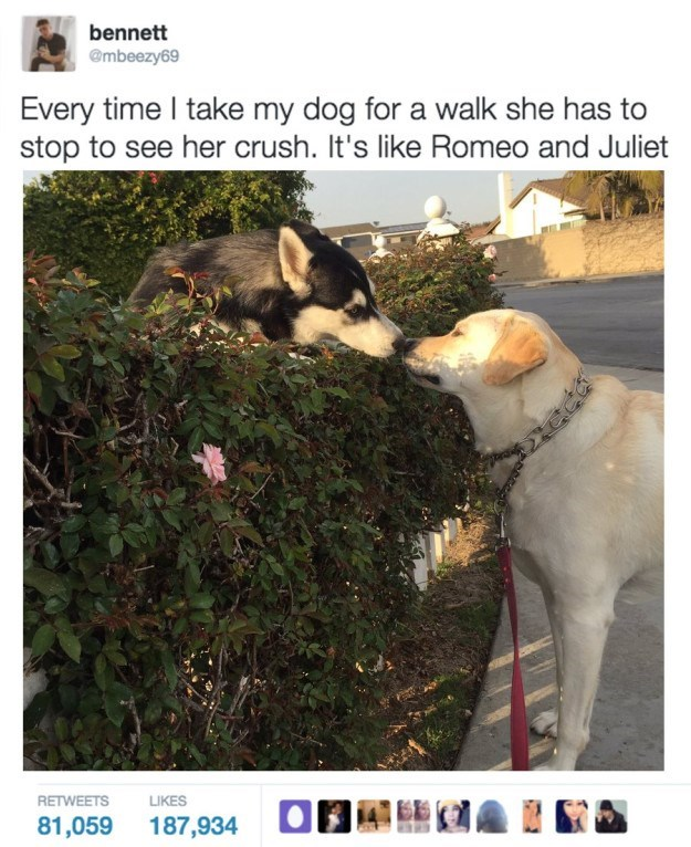 Canidae - bennett @mbeezy69 Every time I take my dog for a walk she has to stop to see her crush. It's like Romeo and Juliet RETWEETS LIKES 81,059 187,934