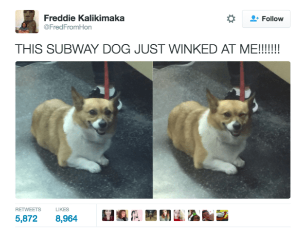 Dog - Freddie Kalikimaka Follow @FredFromHon THIS SUBWAY DOG JUST WINKED AT ME!!!! RETWEETS LIKES 5,872 8,964