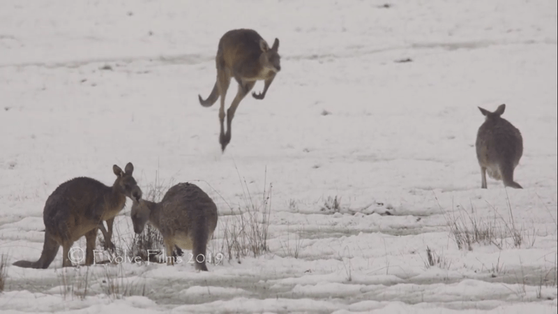 kangaroos in the snow in Australia